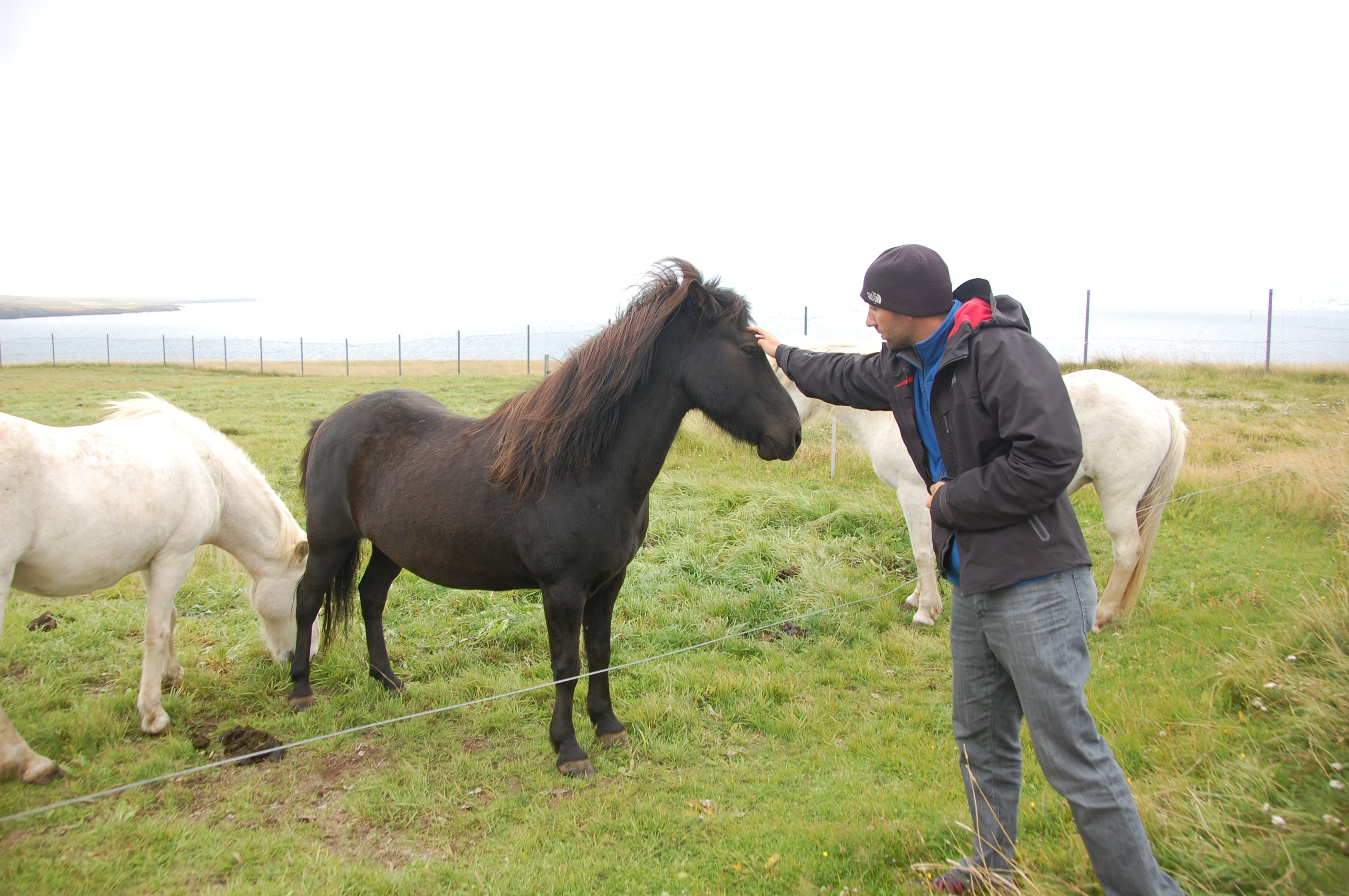 Iceland Horses (do NOT call them ponies!)
