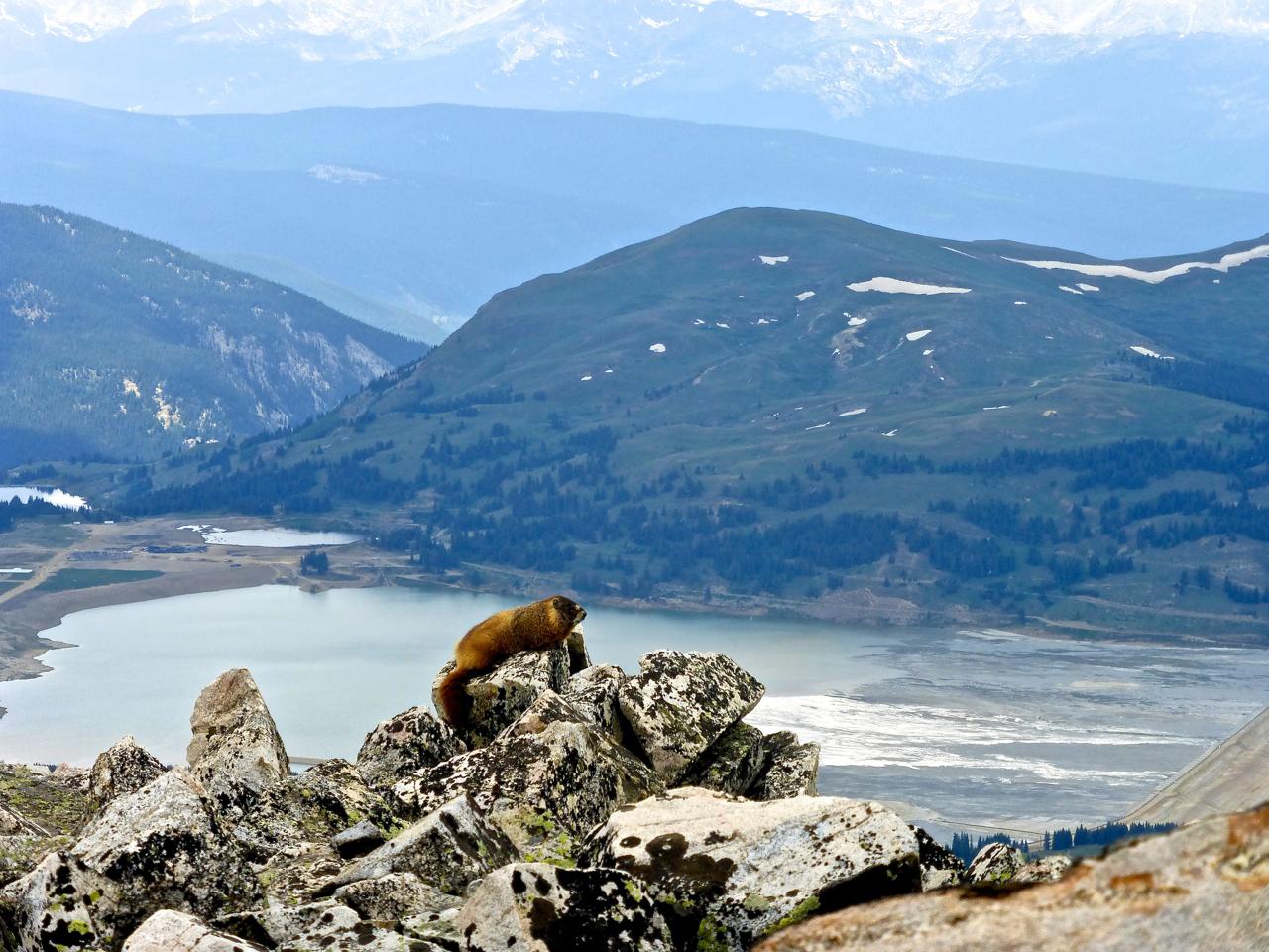 16a marmot